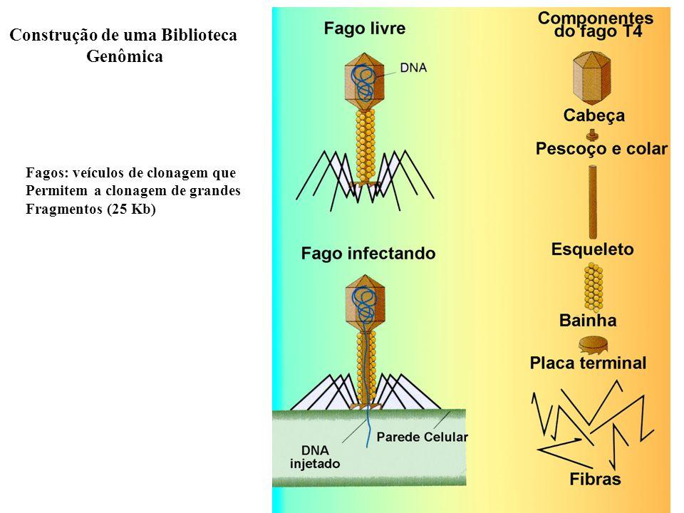 Construção de uma Biblioteca Genômica Fagos: veículos de clonagem que Permitem a clonagem de grandes Fragmentos (25 Kb)