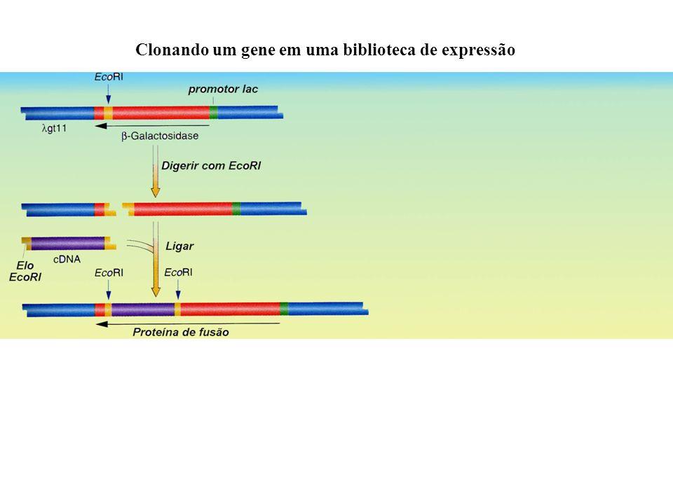 Clonando um gene em uma biblioteca de expressão