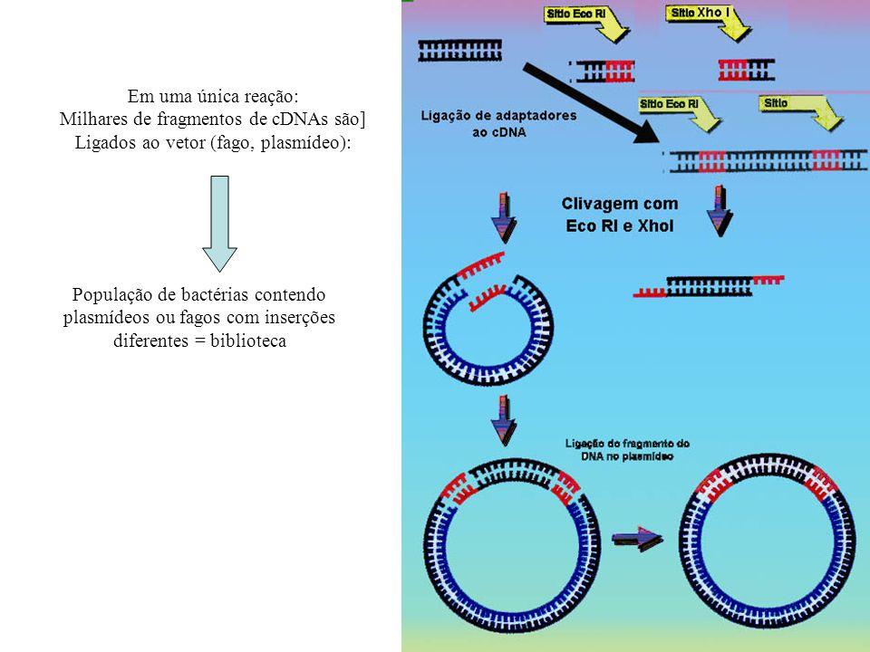 Em uma única reação: Milhares de fragmentos de cDNAs são] Ligados ao vetor (fago, plasmídeo): População de bactérias contendo plasmídeos ou fagos com