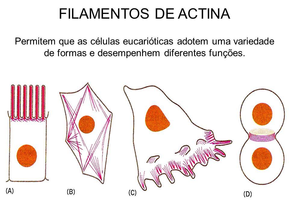 Permitem que as células eucarióticas adotem uma variedade de formas e desempenhem diferentes funções. FILAMENTOS DE ACTINA