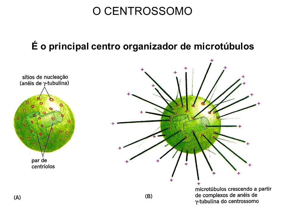 O CENTROSSOMO É o principal centro organizador de microtúbulos