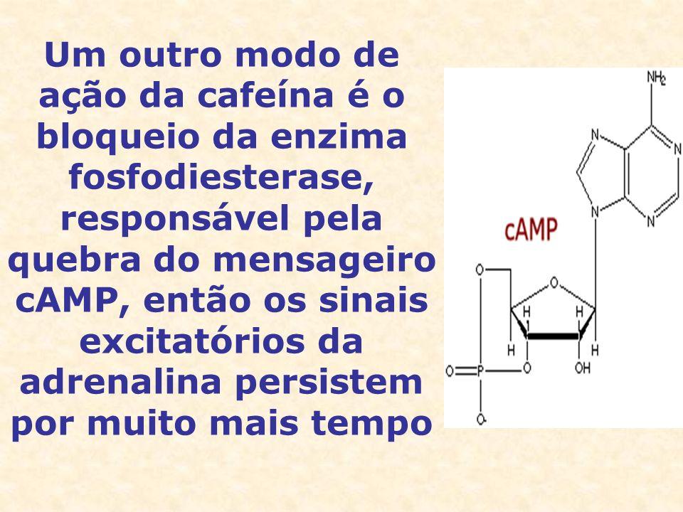 Um outro modo de ação da cafeína é o bloqueio da enzima fosfodiesterase, responsável pela quebra do mensageiro cAMP, então os sinais excitatórios da a