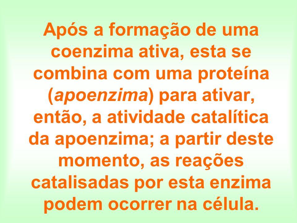 Após a formação de uma coenzima ativa, esta se combina com uma proteína (apoenzima) para ativar, então, a atividade catalítica da apoenzima; a partir