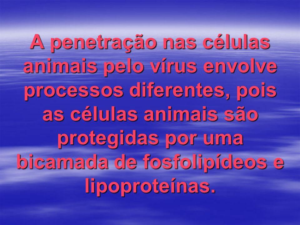 A penetração nas células animais pelo vírus envolve processos diferentes, pois as células animais são protegidas por uma bicamada de fosfolipídeos e l