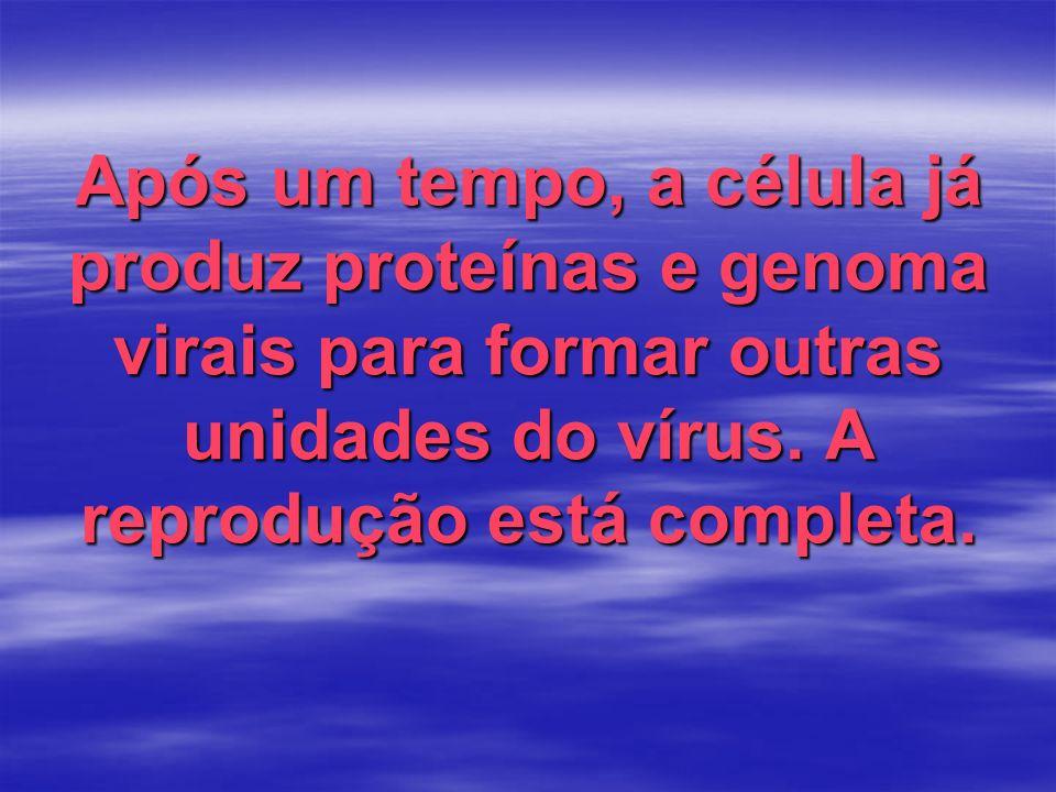 Após um tempo, a célula já produz proteínas e genoma virais para formar outras unidades do vírus. A reprodução está completa.