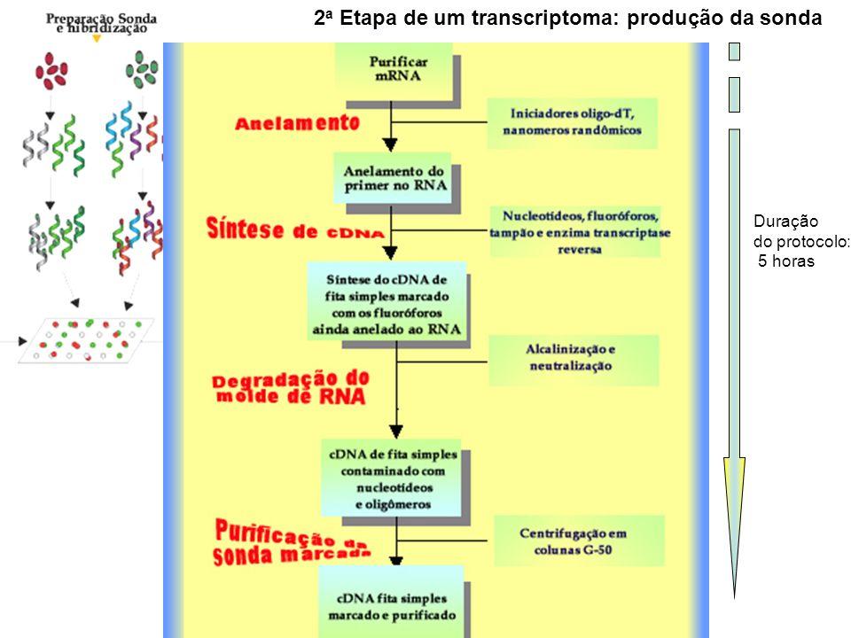 2 a Etapa de um transcriptoma: produção da sonda Duração do protocolo: 5 horas
