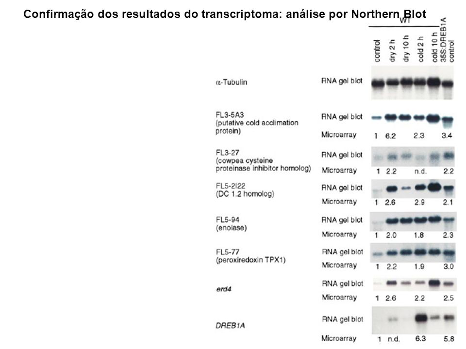 Confirmação dos resultados do transcriptoma: análise por Northern Blot