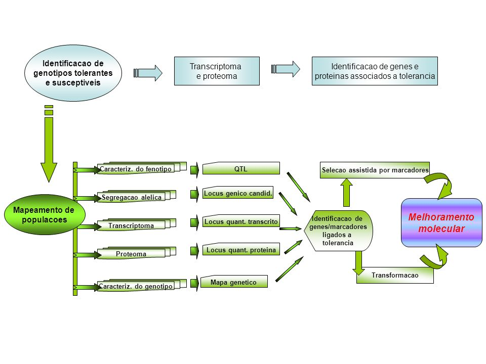Segregacao alelica Transcriptoma Caracteriz. do fenotipo Proteoma Caracteriz. do genotipo Identificacao de genotipos tolerantes e susceptiveis Transcr
