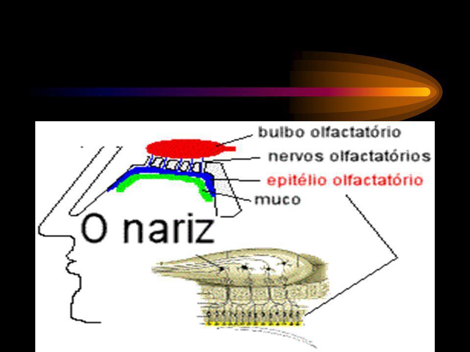 As células do paladar e do olfato são as únicas do sistema nervoso que são substituídas quando velhas ou danificadas.