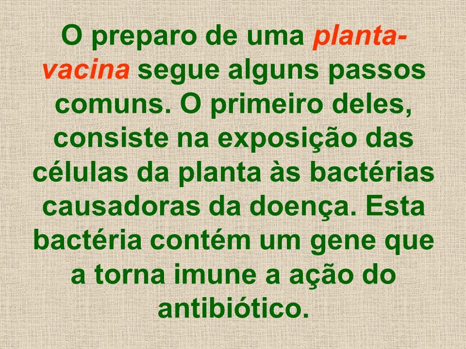 O preparo de uma planta- vacina segue alguns passos comuns. O primeiro deles, consiste na exposição das células da planta às bactérias causadoras da d
