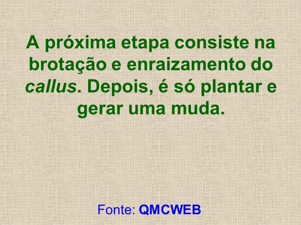 A próxima etapa consiste na brotação e enraizamento do callus. Depois, é só plantar e gerar uma muda. Fonte: QMCWEB