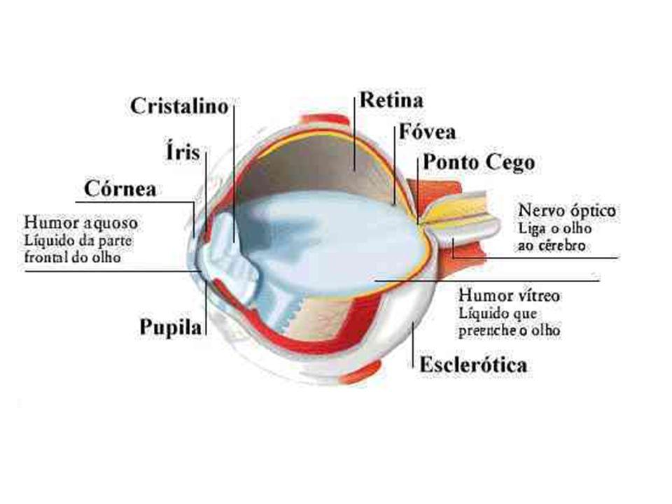 CONJUNTIVA: Membrana transparente que reveste a parte anterior do olho e a superfície interior das pálpebras.
