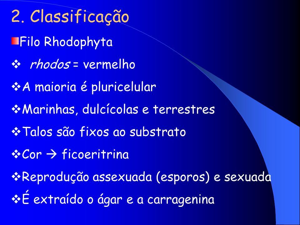 2. Classificação Filo Rhodophyta rhodos = vermelho A maioria é pluricelular Marinhas, dulcícolas e terrestres Talos são fixos ao substrato Cor ficoeri