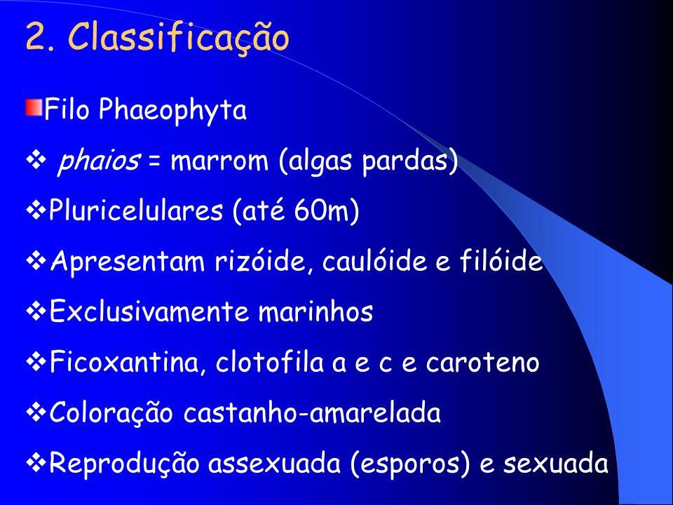 2. Classificação Filo Phaeophyta phaios = marrom (algas pardas) Pluricelulares (até 60m) Apresentam rizóide, caulóide e filóide Exclusivamente marinho
