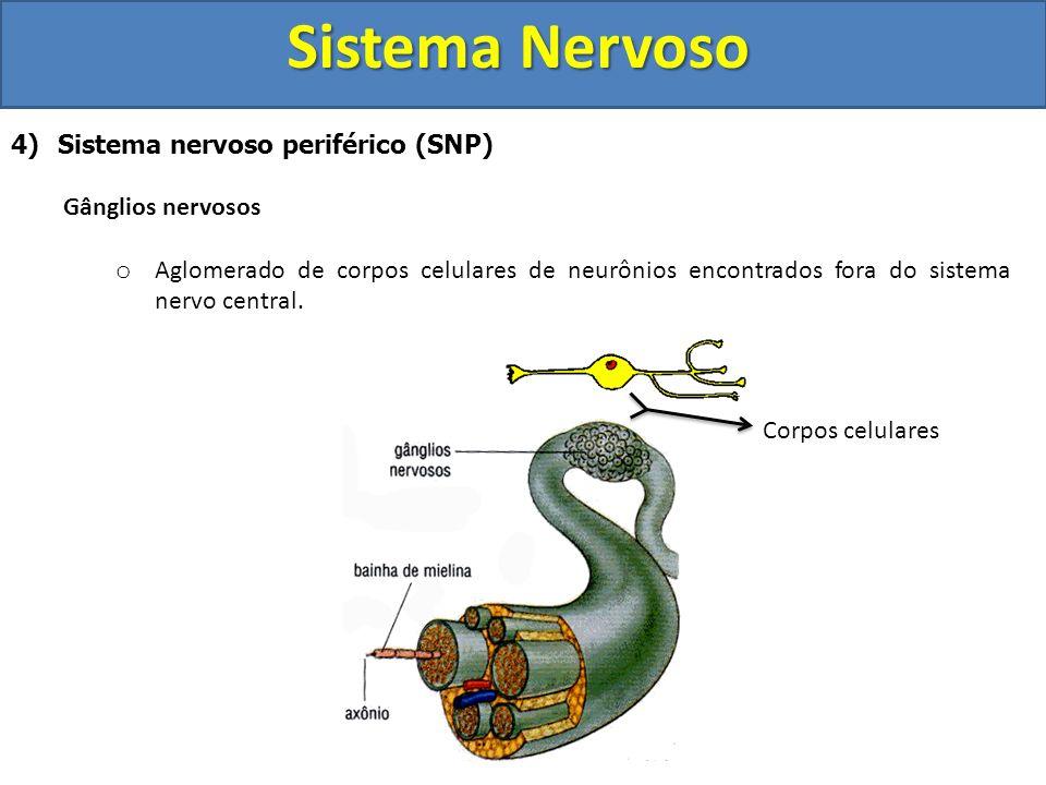 Sistema Nervoso 4) Sistema nervoso periférico (SNP) Gânglios nervosos o Aglomerado de corpos celulares de neurônios encontrados fora do sistema nervo