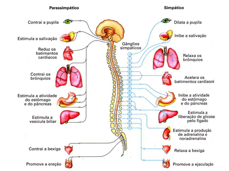 Sistema Nervoso 4) Sistema nervoso periférico (SNP) Diferenças entre os sistemas nervosos simpático e parassimpático: Sistema Nervoso Autônomo SimpáticoParassimpático Fibra pré-ganglionarcurtalonga Fibra pós-ganglionarlongacurta Origem dos nervosRegião torácica e lombar da medula (somente nervos raquidianos) Região cervical (nervos cranianos) e região sacral da medula (nervos raquidianos) Mediador químicoFibras pré-ganglionares: Acetilcolina Fibras pós-ganglionares: Adrenalina Fibras pré-ganglionares: Acetilcolina Fibras pós-ganglionares: Acetilcolina
