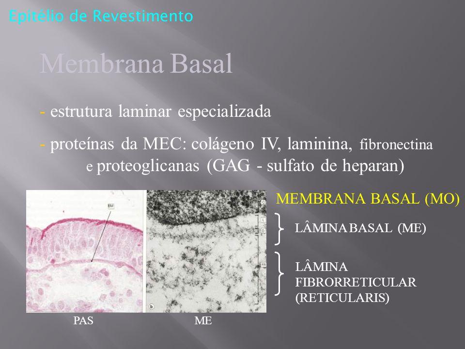 Epitélio de Revestimento Membrana Basal - estrutura laminar especializada - proteínas da MEC: colágeno IV, laminina, fibronectina e proteoglicanas (GA