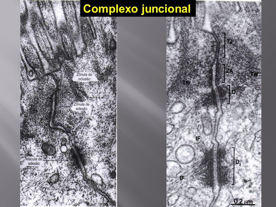 Complexo juncional