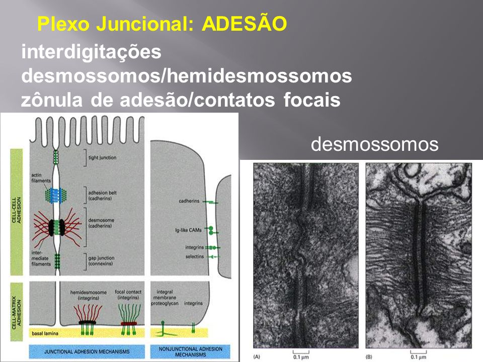 Plexo Juncional: ADESÃO interdigitações desmossomos/hemidesmossomos zônula de adesão/contatos focais desmossomos