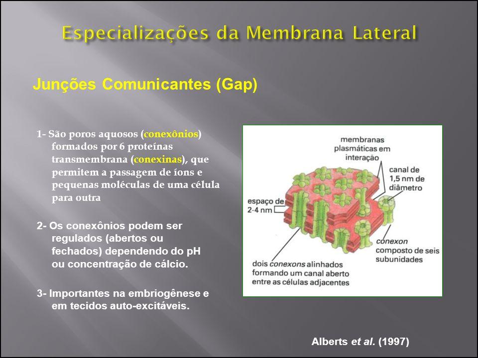 Junções Comunicantes (Gap) 1- São poros aquosos (conexônios) formados por 6 proteínas transmembrana (conexinas), que permitem a passagem de íons e peq