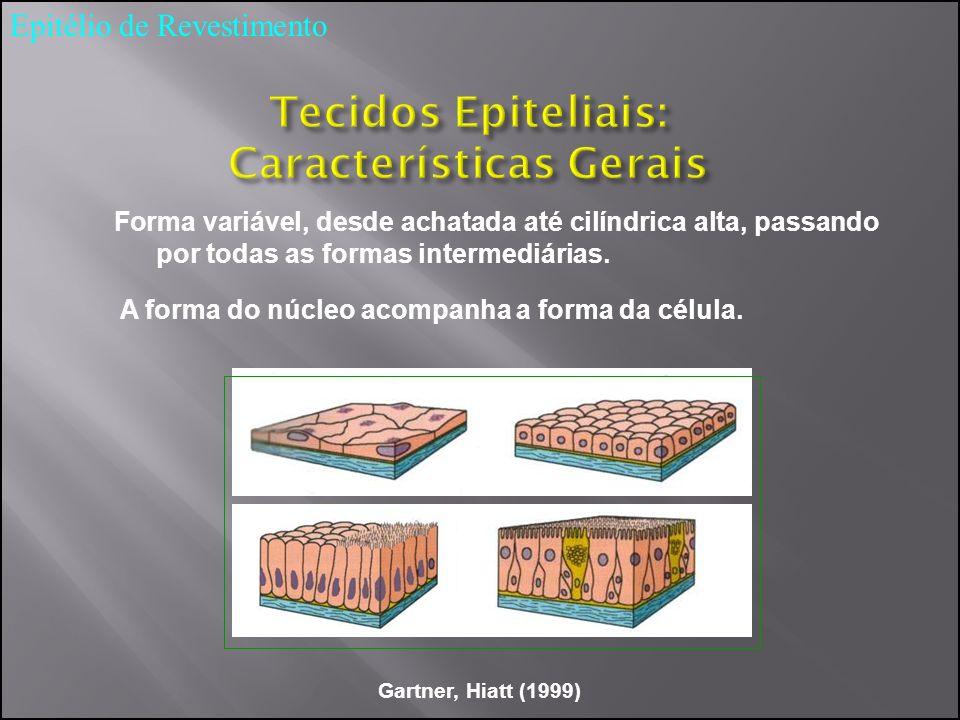 Forma variável, desde achatada até cilíndrica alta, passando por todas as formas intermediárias. A forma do núcleo acompanha a forma da célula. Gartne