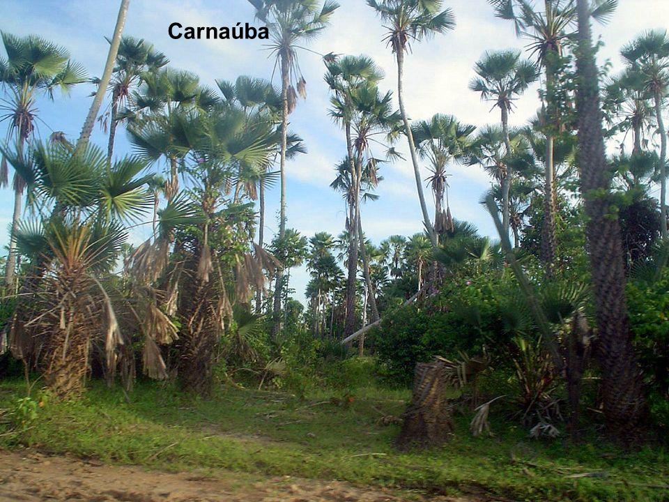 Carnaúba