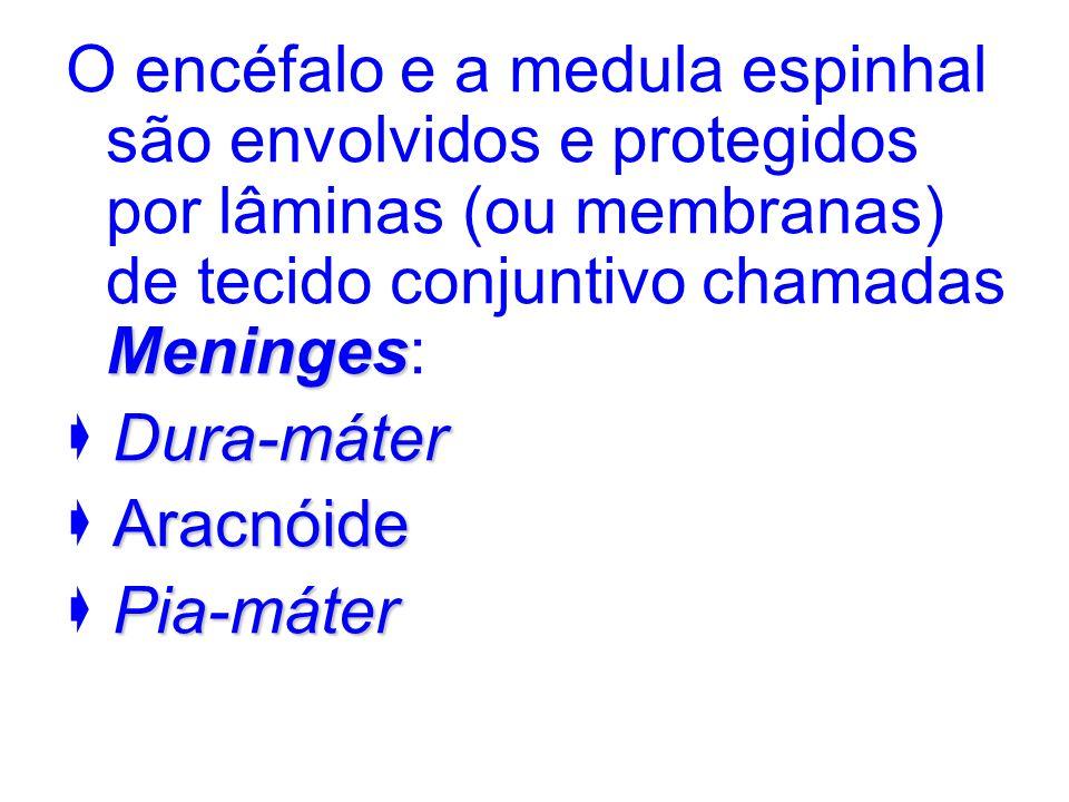 Meninges O encéfalo e a medula espinhal são envolvidos e protegidos por lâminas (ou membranas) de tecido conjuntivo chamadas Meninges: Dura-máter Arac