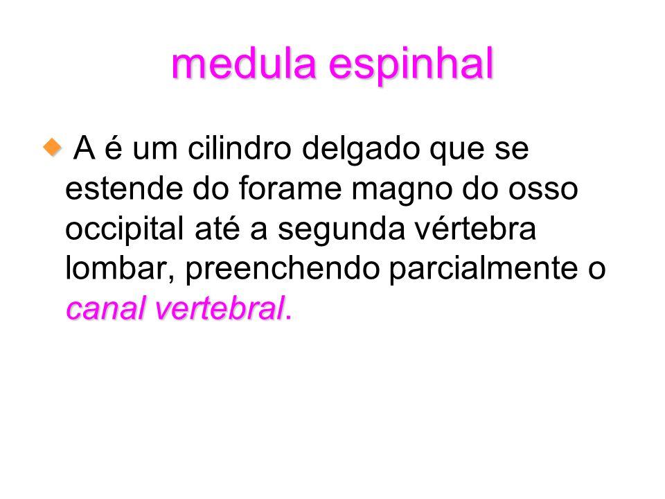 medula espinhal canal vertebral A é um cilindro delgado que se estende do forame magno do osso occipital até a segunda vértebra lombar, preenchendo pa