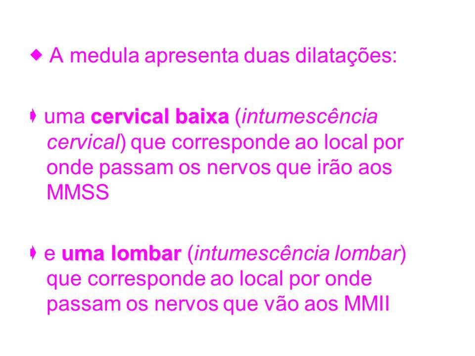 A medula apresenta duas dilatações: cervical baixa uma cervical baixa (intumescência cervical) que corresponde ao local por onde passam os nervos que