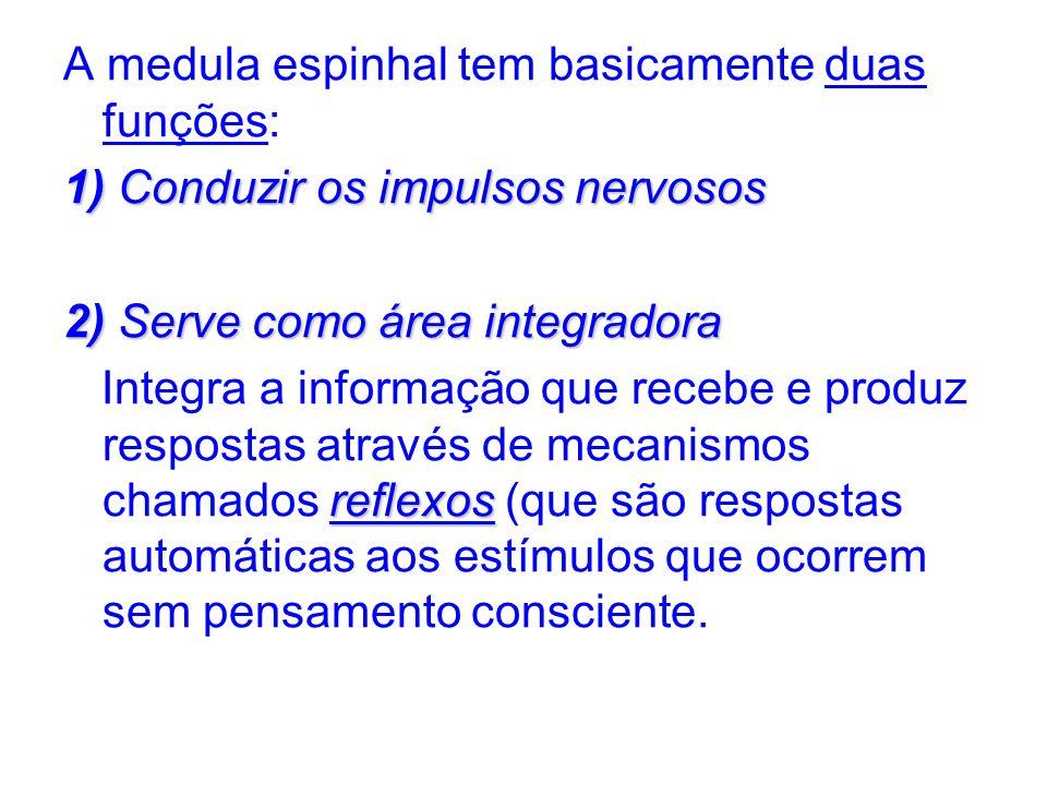 A medula espinhal tem basicamente duas funções: 1)Conduzir os impulsos nervosos 1) Conduzir os impulsos nervosos 2)Serve como área integradora 2) Serv