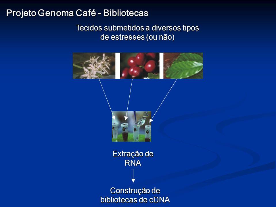 Tecidos submetidos a diversos tipos de estresses (ou não) Extração de RNA Construção de bibliotecas de cDNA Projeto Genoma Café - Bibliotecas