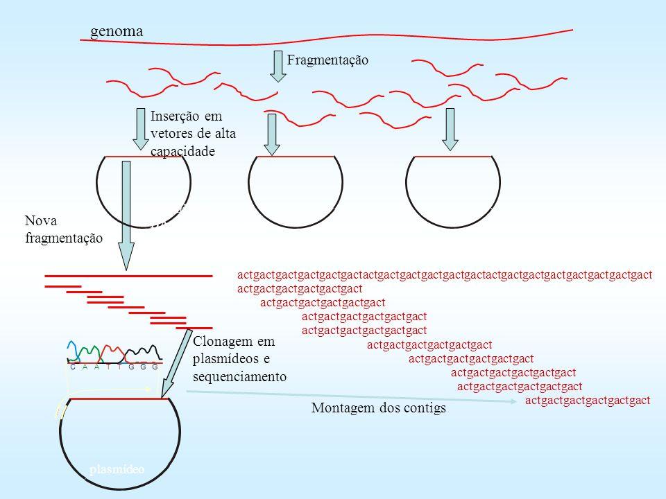 Nova fragmentação Fragmentação Cosmídeo, BAC, plasmídeo, etc. Inserção em vetores de alta capacidade plasmídeo CAATTGGG Clonagem em plasmídeos e seque