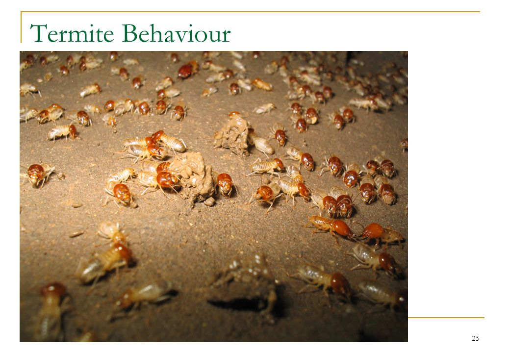 25 Termite Behaviour