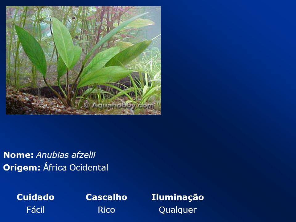 Nome: Anubias afzelii Origem: África Ocidental CuidadoCascalhoIluminação FácilRicoQualquer