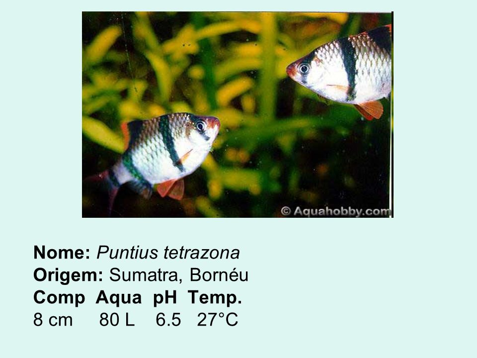 ACARÁ BANDEIRA O Acará Bandeira é um peixe tranqüilo, mas se algum outro peixe quiser beliscar suas barbatanas ele fica nervoso e dá corrida nos peixes à sua volta.