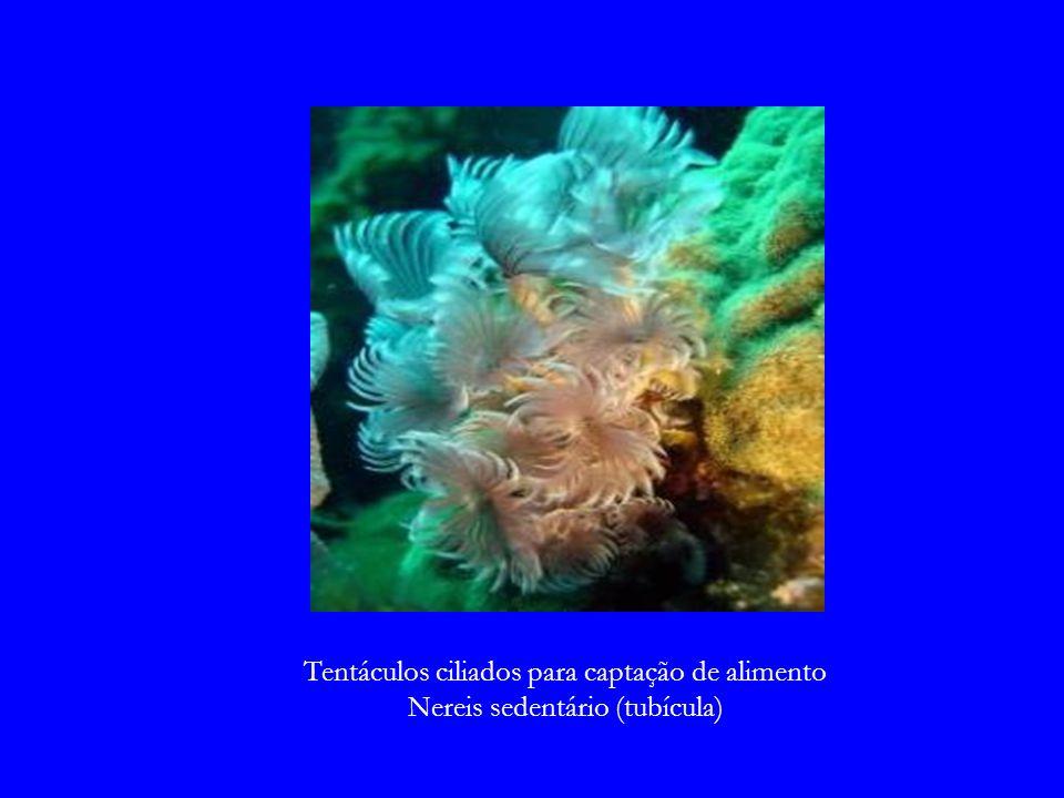 Tentáculos ciliados para captação de alimento Nereis sedentário (tubícula)