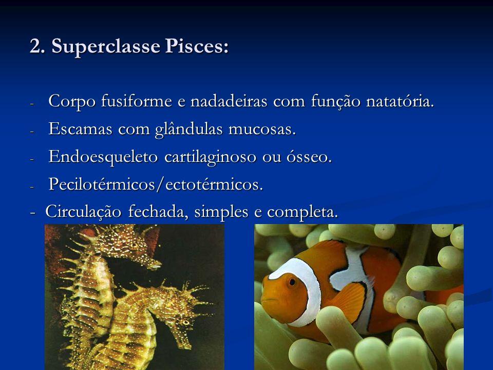 2. Superclasse Pisces: - Corpo fusiforme e nadadeiras com função natatória. - Escamas com glândulas mucosas. - Endoesqueleto cartilaginoso ou ósseo. -