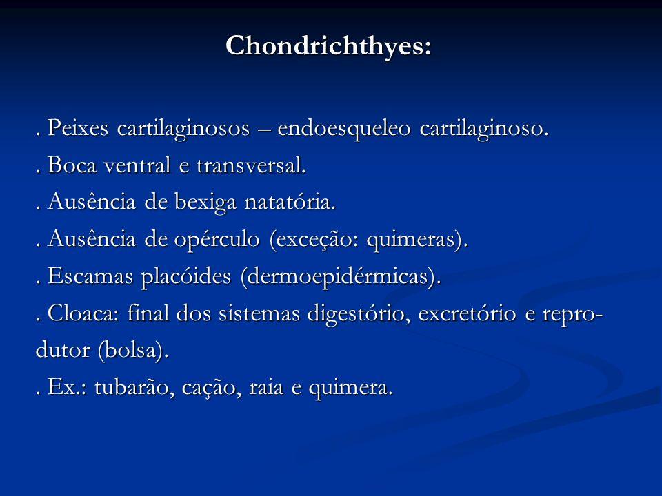 Chondrichthyes:. Peixes cartilaginosos – endoesqueleo cartilaginoso.. Boca ventral e transversal.. Ausência de bexiga natatória.. Ausência de opérculo