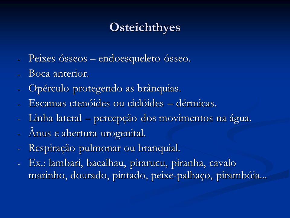 Osteichthyes - Peixes ósseos – endoesqueleto ósseo. - Boca anterior. - Opérculo protegendo as brânquias. - Escamas ctenóides ou ciclóides – dérmicas.