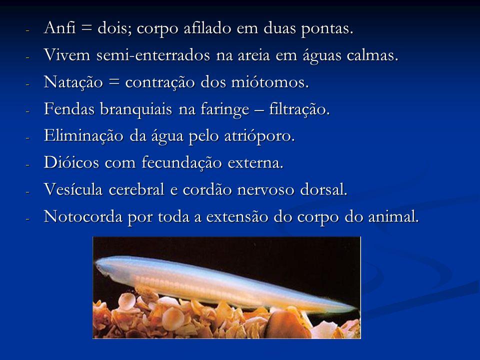 V.Subfilo Vertebrata: - Endoesqueleto (vértebras e crânio).