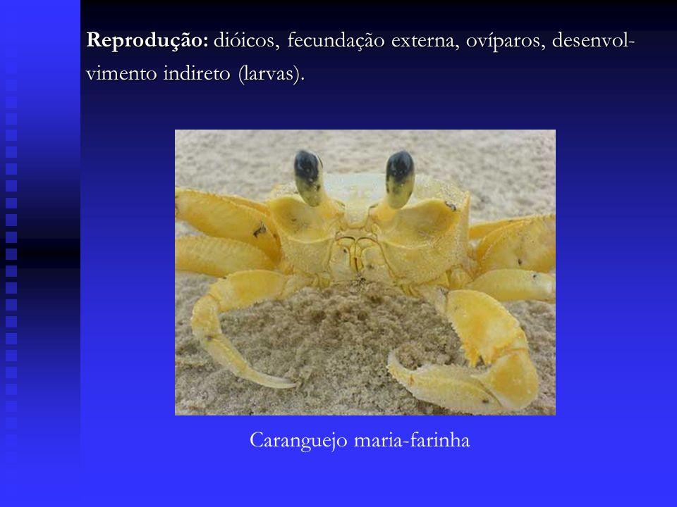 Reprodução: dióicos, fecundação externa, ovíparos, desenvol- vimento indireto (larvas). Caranguejo maria-farinha
