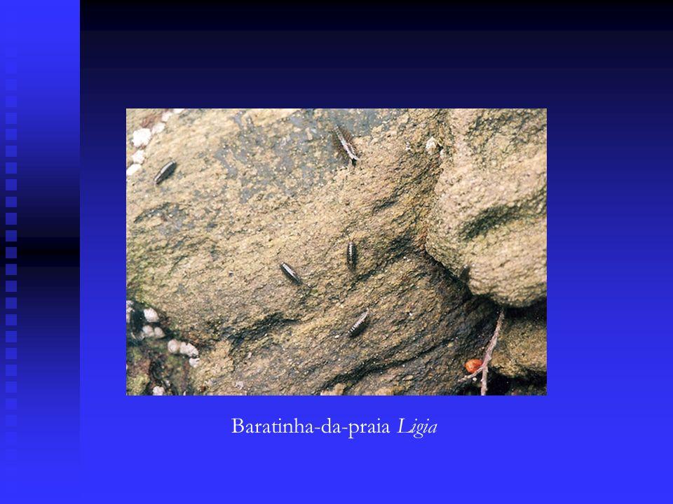 Baratinha-da-praia Ligia