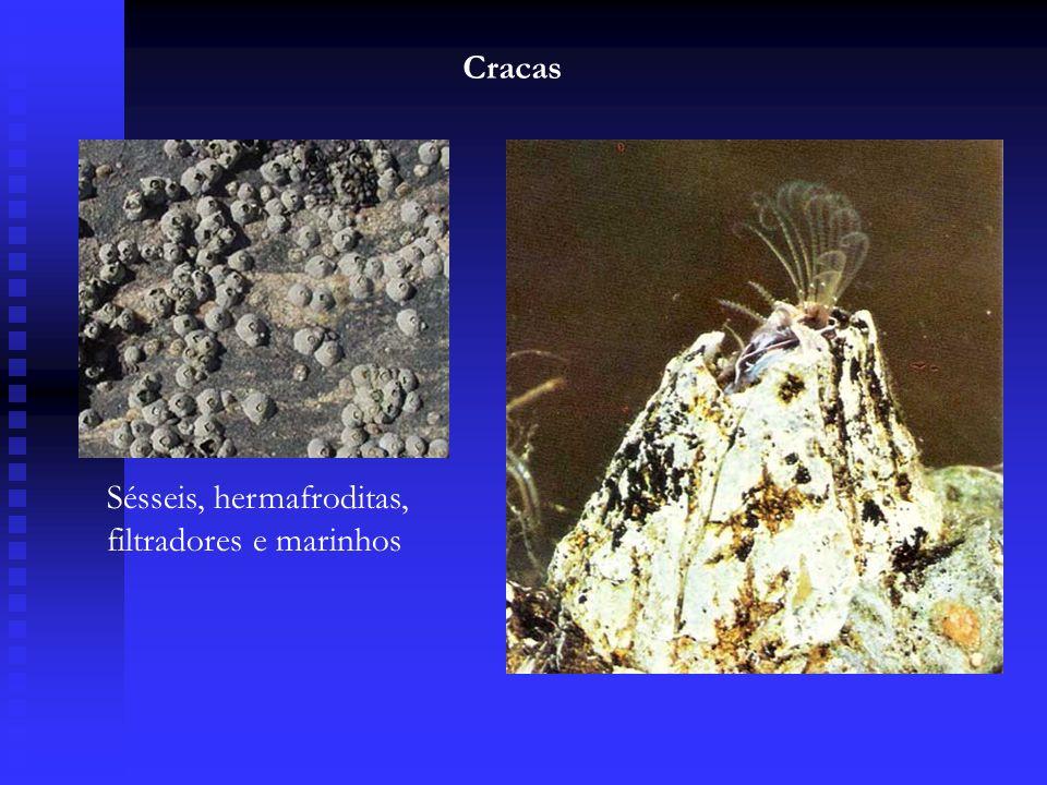 Cracas Sésseis, hermafroditas, filtradores e marinhos