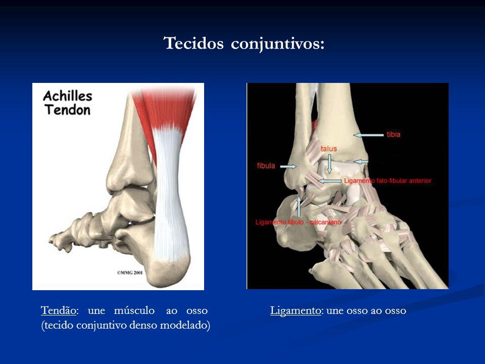 Tendão: une músculo ao osso (tecido conjuntivo denso modelado) Ligamento: une osso ao osso Tecidos conjuntivos: