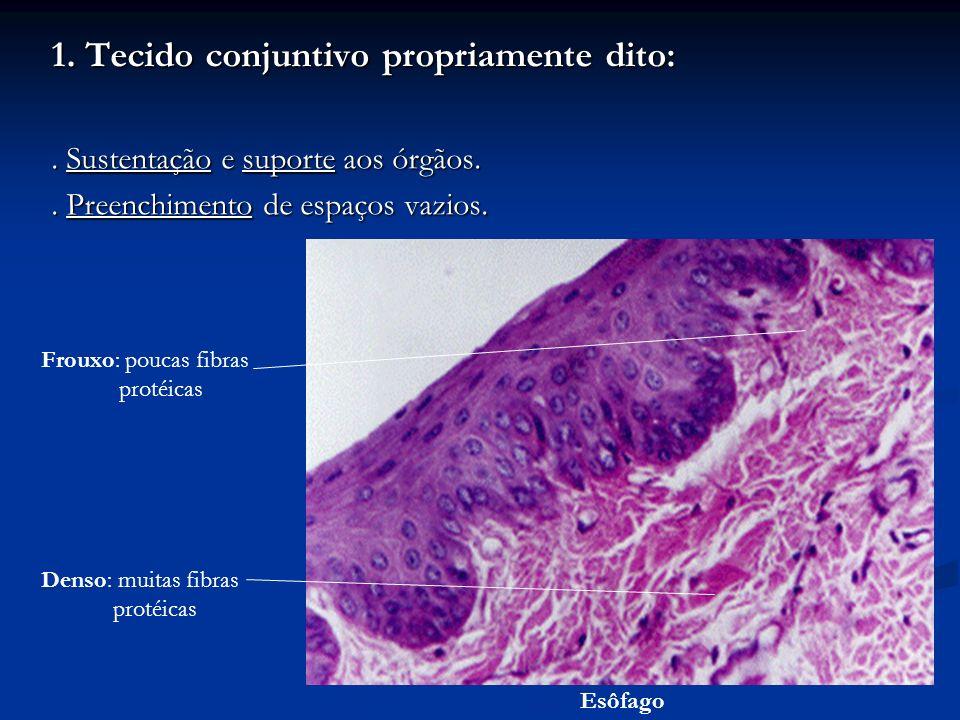 1. Tecido conjuntivo propriamente dito:. Sustentação e suporte aos órgãos.. Preenchimento de espaços vazios. Frouxo: poucas fibras protéicas Denso: mu