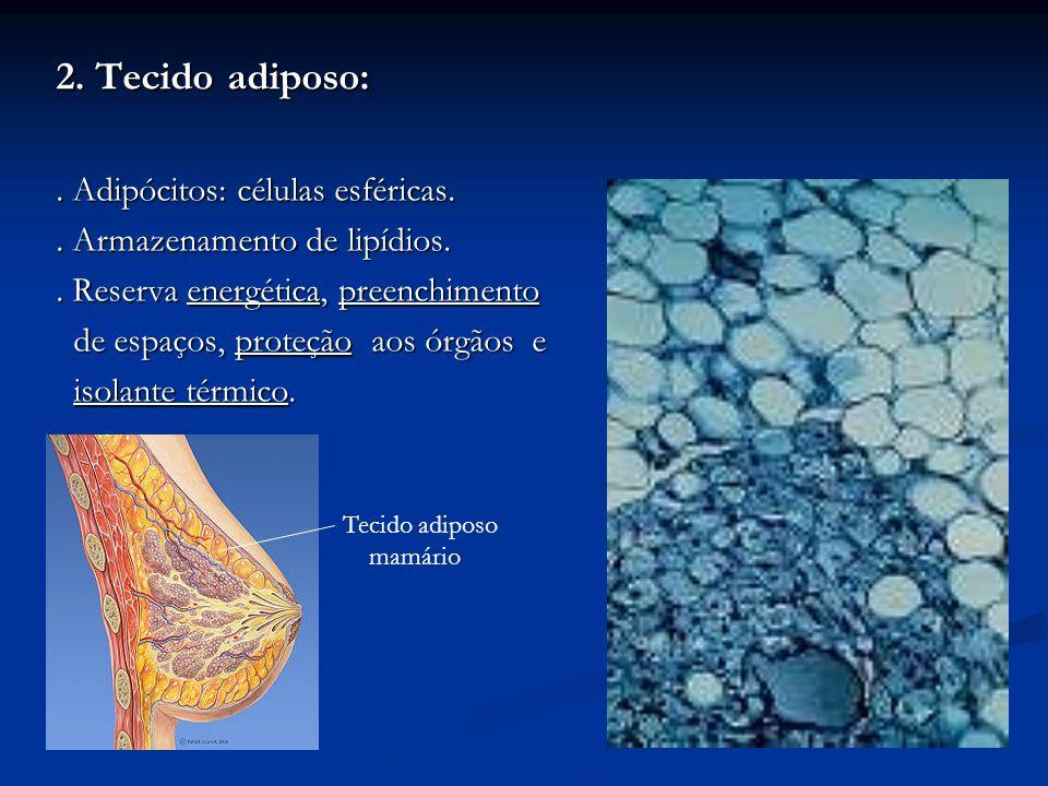 2. Tecido adiposo:. Adipócitos: células esféricas.. Armazenamento de lipídios.. Reserva energética, preenchimento de espaços, proteção aos órgãos e de
