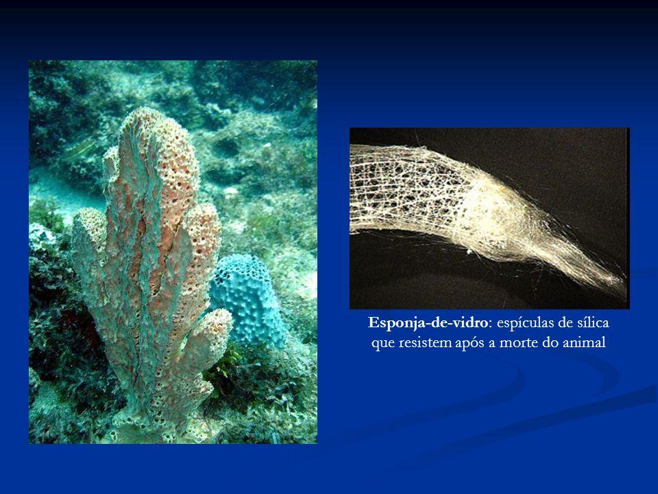 Esponja-de-vidro: espículas de sílica que resistem após a morte do animal