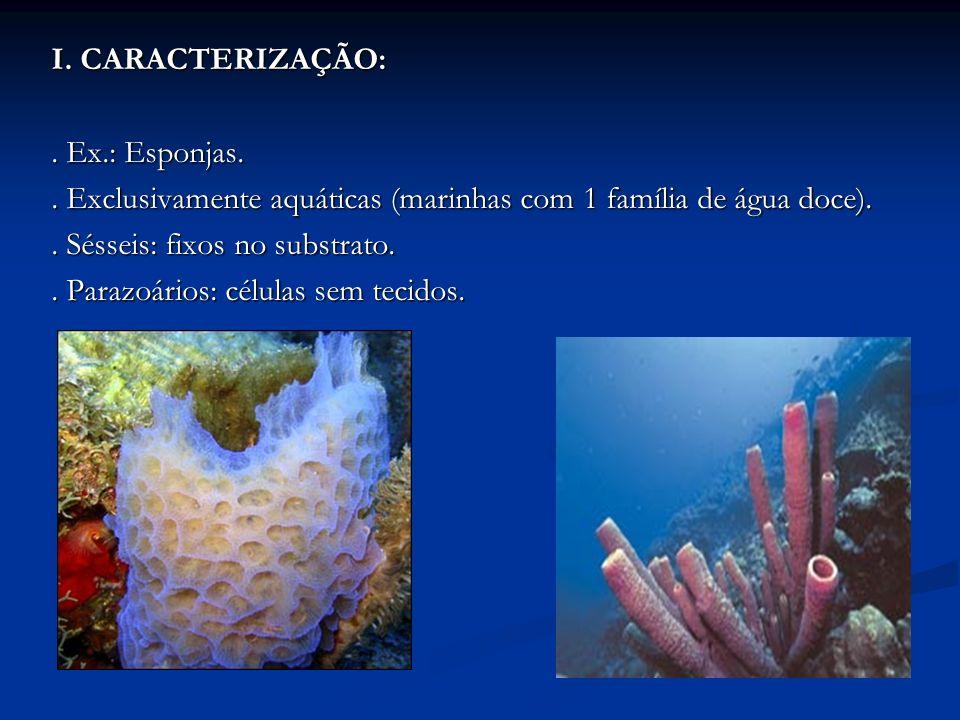 I. CARACTERIZAÇÃO:. Ex.: Esponjas.. Exclusivamente aquáticas (marinhas com 1 família de água doce).. Sésseis: fixos no substrato.. Parazoários: célula
