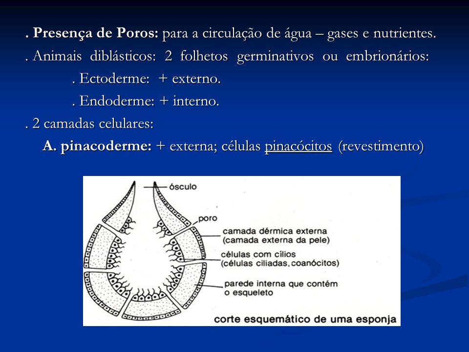 . Presença de Poros: para a circulação de água – gases e nutrientes.. Animais diblásticos: 2 folhetos germinativos ou embrionários:. Ectoderme: + exte