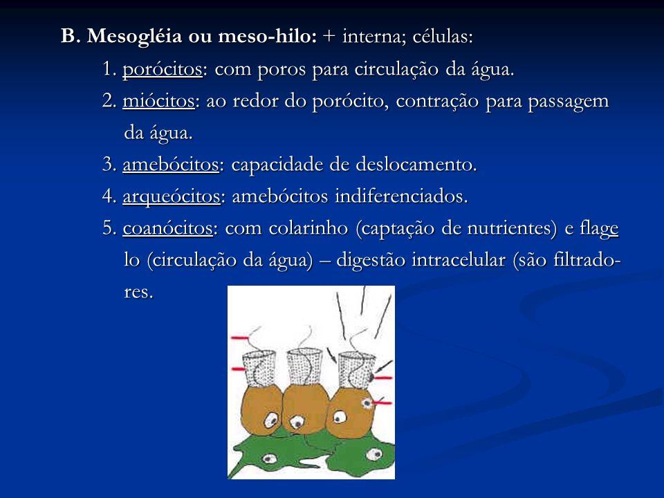 B. Mesogléia ou meso-hilo: + interna; células: 1. porócitos: com poros para circulação da água. 2. miócitos: ao redor do porócito, contração para pass